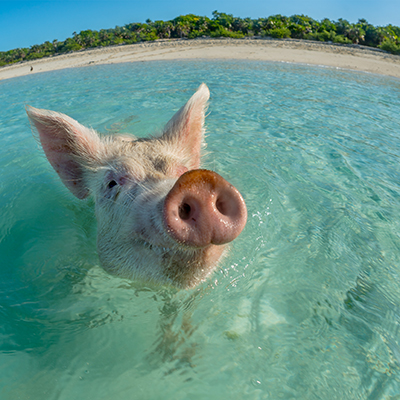 a pig swimming in the ocean